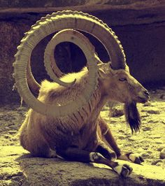 Alpine ibex, Capra ibex, are found in central Europe, south to northern Ethiopia, and east to Central China. Usually living at elevations up to 3,200 meters. It is a sexuality dimorphic species with males being larger than females has well as having larger horns which curve.