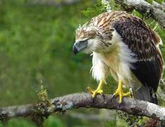 Largest Eagle Philippine Eagle