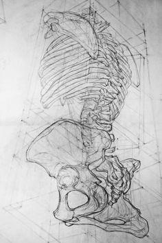 Human torso and hip bones drawing. Partial skeleton