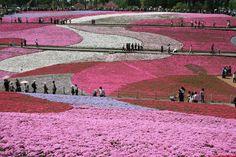 Pink Flower Field in Japan