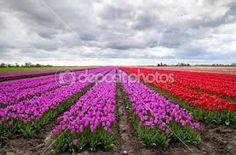 campo de tulipa vermelhas - Pesquisa Google
