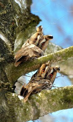 Owl Photos Wild young owl portrait by byrdyak