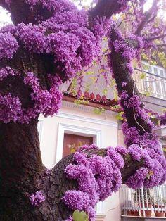 Purple blush on an Eastern Redbud tree. Purple Love, All Things Purple, Purple Blush, Purple Rain, Purple Flowers, Beautiful Flowers, Purple Wisteria, Purple Trees, Purple Garden