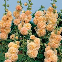 Peaches 'n' Dreams Hollyhock Seeds Enormous Powderpuffs of Peachy-Cream! Exceptionally double blooms on tall to stalks! Fresh flowers for weeks! Hollyhocks Flowers, Flowers Garden, Garden Plants, Planting Flowers, Fresh Flowers, Beautiful Flowers, Flowering Trees, Flower Seeds, Container Gardening