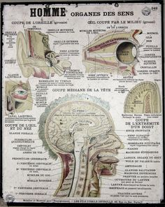 Anatomy - Poster - French (head)