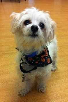 """Stefan, our PAWS Chicago CBS Chicago """"Dog of the Week"""" is playing it low-key this Halloween.  That's because he's focused on finding a home! Stefan is a 7 year old Havanese mix just waiting for the right family.   For more information on the CBS """"Dog of the Week,"""" visit http://chicago.cbslocal.com/ or come by and see him at the PAWS Chicago Adoption & Humane Center, 1997 N. Clybourn Avenue!   For more information call 773-935-PAWS or visit www.pawschicago.org."""