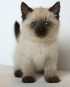 Сиамский котик. Красавчик, правда?