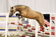 SES Stallion: Cocktailzauber, German Riding Pony