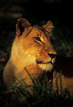 Morning Lioness by Rudi Hulshof on 500px