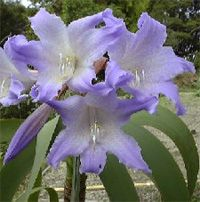 Worsleya - Worsleya procera - Blue Amaryllis, Empress of Brazil, Blue Hippeastrum (Worsleya procera) House Plants, Plants, Beautiful Flowers, Amaryllis Flowers, Botany, Flowers, Bonsai, Container Pond, Blue Flowers
