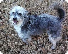 Knoxville, TN - Schnauzer (Standard)/Fox Terrier (Smooth) Mix. Meet Duke a Dog for Adoption.