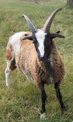 Funky Jacob sheep lamb, four horns.