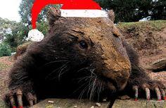 Christmas Wombat Australia