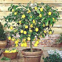 Limonero enano o en maceta: una alternativa para el hogar o la terraza. Se trata de cultivar un árbol frutal el limonero enano en un lugar más reducido.