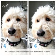Jack the Goldendoodle at Christmas