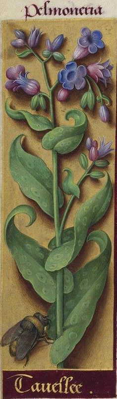 Tavellee - Pelmoneria (Pulmonaria officinalis L. = pulmonaire officinale) -- Grandes Heures d'Anne de Bretagne, BNF, Ms Latin 9474, 1503-1508, f°234v