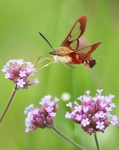 Hummingbird Clearwing Moths - Is it a bird or is it a bug...so cool looking!