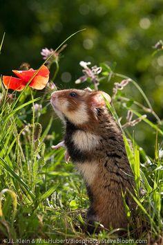 Hamster smelling a corn poppy in Alsace, France - Steve Bloom Images #HamsterGuide