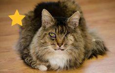 Cat ready for adoption: Tabby / Maine Coon (long coat) named Popeye 7591 in Atlanta, GA