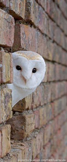 Barn Owl - Photograph by James Boardman