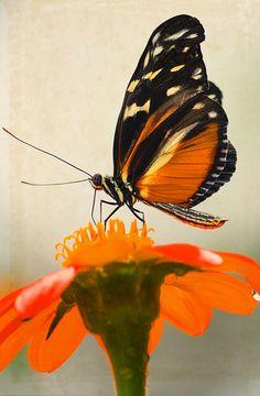 Vlinder foto bewerkt