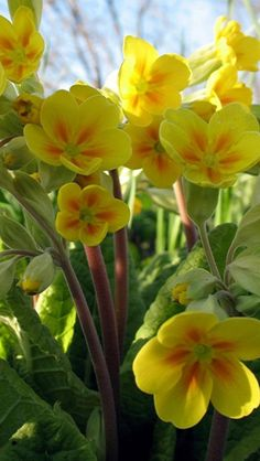 Primula ~ Primrose