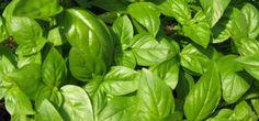 Busuioc proaspăt tot timpul anului. Sfaturile unui cultivator pentru a te bucura de aroma plantei crescută la tine acasă