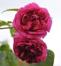 'Lady of Megginch   Shrub.  English Rose Collection. Bred by David C. H. Austin (United Kingdom, 2007)