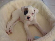 adorable white boxer puppy Barkley needs him! White Boxer Puppies, White Boxers, Cute Puppies, Cute Dogs, Boxer And Baby, Boxer Love, Weimaraner, I Love Dogs, Puppy Love