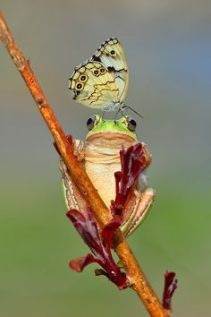 ✿Froggy & The butterfly