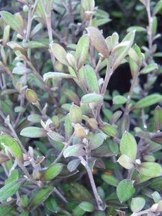 Corokia x virgata 'Frosted Chocolate' - The Native Plant Centre