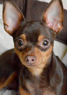 Photos : <span>Le ratier de Prague, un chien d'expo</span>