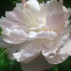 Pion in my garden / Ann-Sofi Sweden