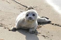 Baby Seal   cucciolo foca baby seal