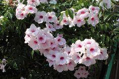 Pandorea jasminoides (Bower Vine) - native to Queensland, Australia