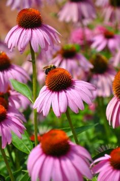 Cone flower, reliable and native to the Great Plains this wild flower makes an impact, drought tolerant.