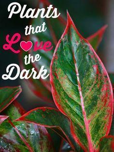 Indoor Plants That Love The Dark #Container_gardening