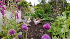 FSF employee Gareth put his hens to clearing the veggie patch of slugs this weekend. It's nice to see someone enjoying their work.
