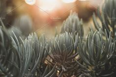 Succulents at sunset by Rene Jordaan Photography on @creativemarket