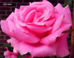 "✣... We can complain because rose bushes have thorns, or rejoice because thorn bushes have roses.""   ✣  Abraham Lincoln  Photograph; ellen ♥ vaman   www.facebook.com/ellenvaman"