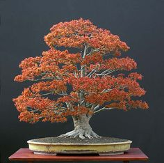 Bonsai Japanese Maple...worth pursuing...outdoors in summer, inside from fall through early spring.