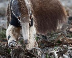 anteater by Dmitry Dubrovskiy Wild Creatures, All Gods Creatures, Strange Creatures, Giant Anteater, African Wild Dog, San Diego Zoo, Baboon, Wild Dogs, Circle Of Life
