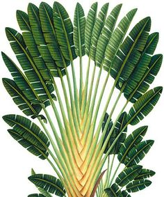 Fan Palm - Natural History Museum greeting card