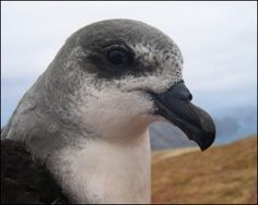 Endangered Zino Petrel Chicks of Madeira Island..