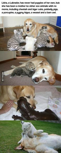 A mother like no other.This labrador had never puppies of her own but she has been a mother to many baby animals.