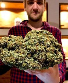 Platinum Girl Scout Cookies is a multi-talented hybrid, that was created out of two unique and already popular master-strains Marijuana Plants, Weed Drug, Weed Buds, Farm Online, Cannabis Seeds For Sale, Weed Types, Weed Recipes