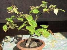 La chlorose des plantes : causes, symptômes et traitement
