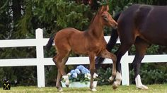 You always wanted to know, how the process is to select a foal for the Verden Auction. This clip gives you an overview. #hannoveranerverband #verdenerauktion #foals