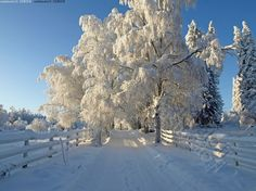 Birch alley with white picket fences for horses