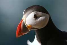 Puffin at the west coast of Westray